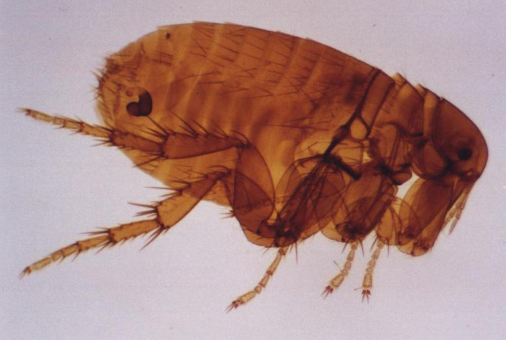 jigger flea